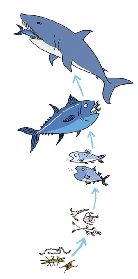 cadenas alimenticias y niveles tróficos cadena tr 243 fica 191 qu 233 es niveles marina terrestre y m 225 s