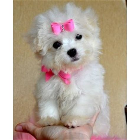 teacup yorkie clothes for sale teacup puppies for sale teacup yorkie puppies for sale tea polyvore