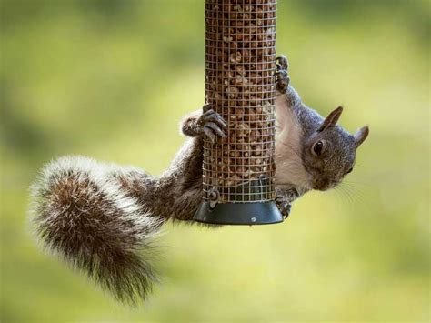 how to prevent squirrels and rats eating bird food saga