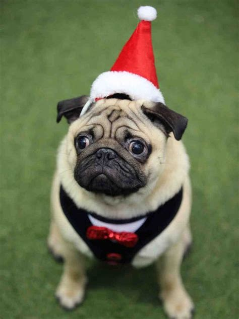 festive pug you ll melt these festive pugs wore at the pugfest convention