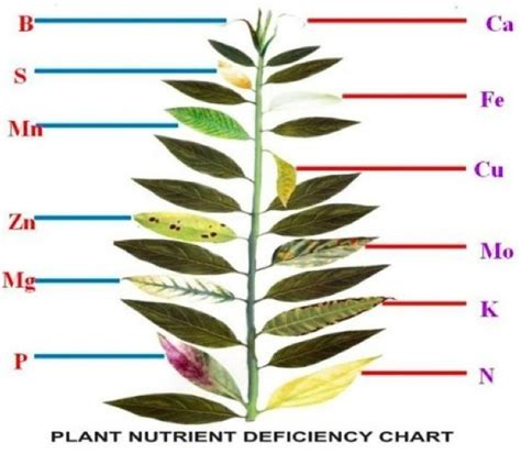 nutrient deficiency plant nutrient deficiency leaf illustrations and charts reference guide big picture agriculture