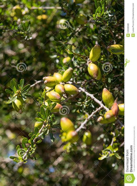 argan tree fruit fresh fruit of argan tree on the branch stock photo