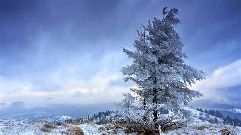 snowy fir tree wallpaper 11531