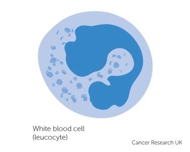 white blood cell diagram for white blood cells clipart www pixshark images