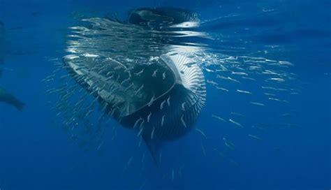 balena alimentazione whale whisperers le balene vincono nei concorsi