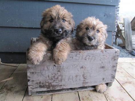 bouvier dogs bouvier des flandres cuteness