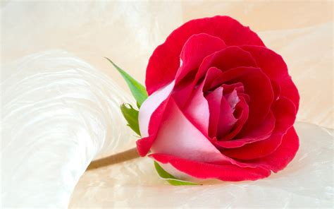 Roses Delivery by Flower Flower Shops Flowers Pictures Flower Delivery Silk