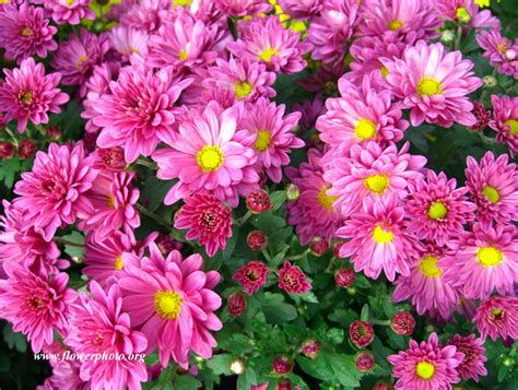 pink mums flower photos