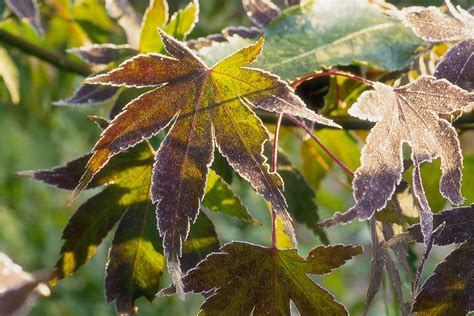 palmate leaves   plants