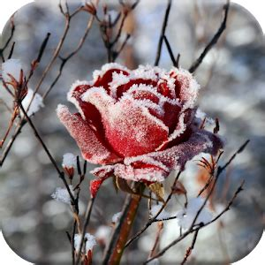 Nature S Plus Prost Actin 30s winter flowers live wallpaper android apps on play