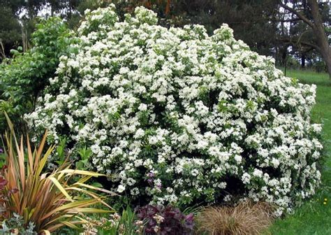 Garden Flowering Shrubs Shrubs