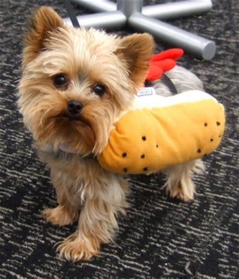 yorkie costumes 15 best images about hotdog on dogs yorkie and costumes