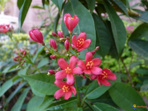 Arbustes Fleurs Rouges by Photo Nom De Cet Arbuste 224 Fleurs Rouges