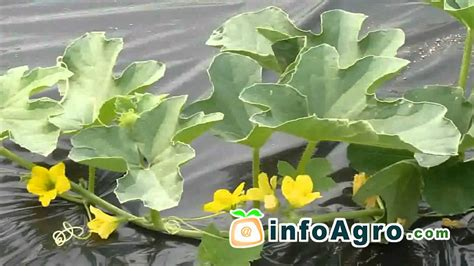 melon growing   plant grow  harvest  youtube