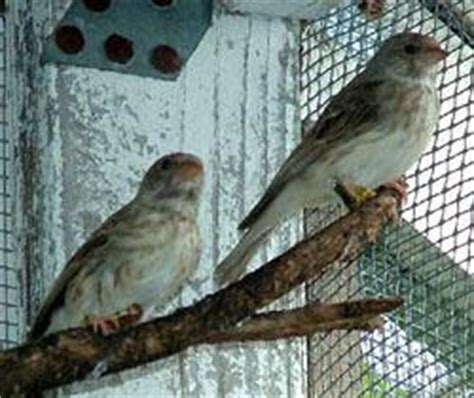 Sprei Canary Song gray singing finch facts as pets care temperament