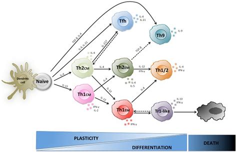 frontiers functional crosstalk between dendritic frontiers plasticity of human cd4 t cell subsets
