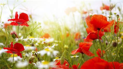 wallpaper field  hd wallpaper chamomile poppy