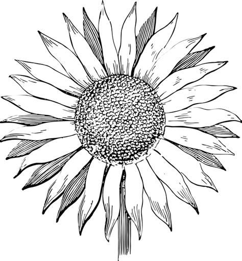 sunflower flower  art  vector graphic  pixabay
