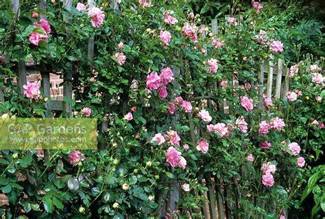 fan shaped garden trellis gap gardens rosa chaplin s pink growing on fan shaped