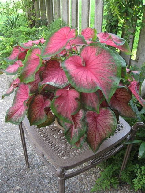 Elephants Ears Wing Chair 90 best caladiums and container gardening images on