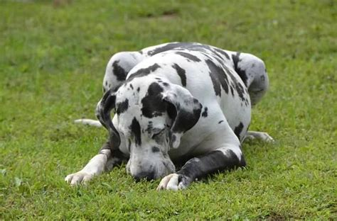 great dane service 256 best images about d aww on harlequin great danes service dogs and