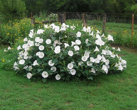 Moon Garden Flowers Fragrant Moonflower Bush 20 Seeds This Will Traffic Comb S H Ebay