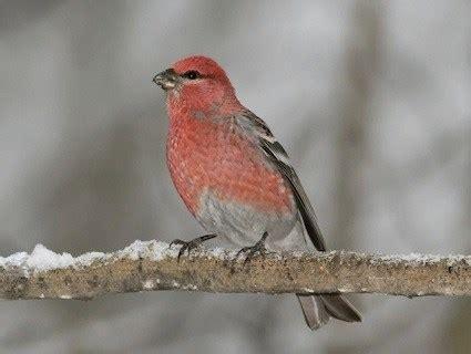 pine grosbeak identification all about birds cornell