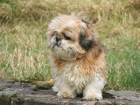 shih tzu and asthma why i want a but can t a