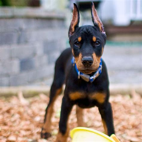 doberman puppies come see the cutest photos of doberman puppies