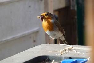 what do robins eat
