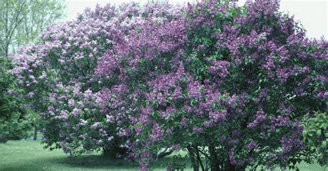 lilacs bush very small lilac trees for gardens ehow uk