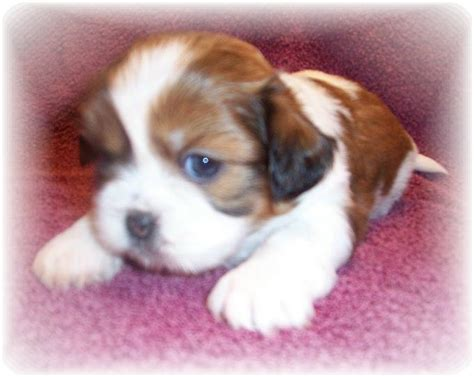 puppies for sale in montgomery al shih tzu for sale in montgomery al breeds picture