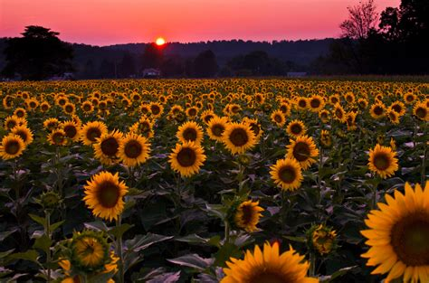 sunflowers sunset one of the sunflower fields in york