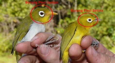 Harga Pakan Burung Pleci Import beda burung pleci jantan dan betina biodiversityscience