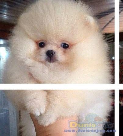 Mini 2 Bulan dunia anjing jual anjing pomeranian jual mini pom 2 bulan stambum vaksin 2x