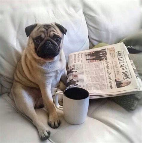 morning pug morning just because
