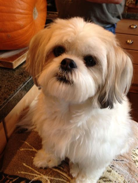 how to a shih tzu to lay pin by jasvin schroeder on my beautiful pooch