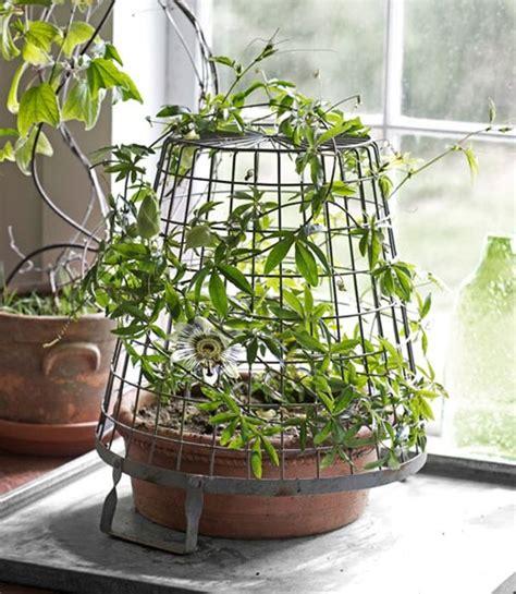topfpflanzen garten topfpflanze passiflora caerulea passionsblumen anbauen