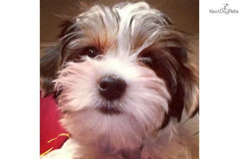 white yorkie for sale dogs and puppies for sale and adoption oodle marketplace