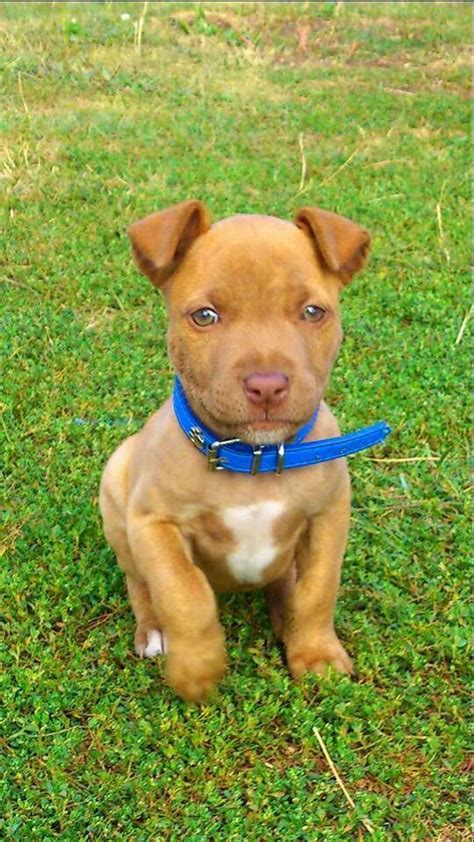 Brown Red Nose Pitbull Www Imgkid Com The Image Kid Brown Pit