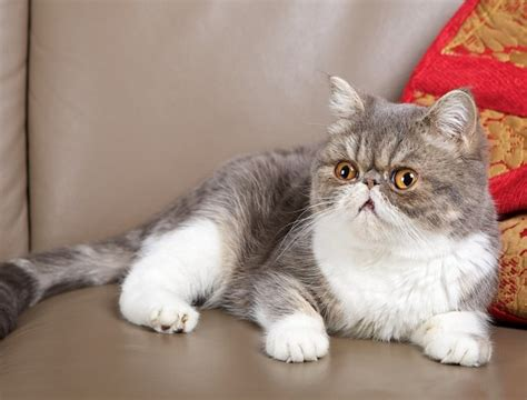 exotic house cats exotic domestic cat breeds bing images