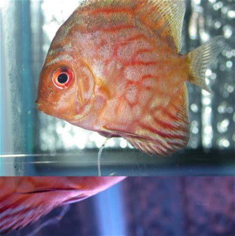 Cacing Untuk Discus aquascape n ikan discus septian cahyo susilo