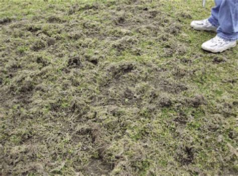 Fly Infestation In Backyard by Crane Fly Larvae Can Be Devastating To Turf Turf