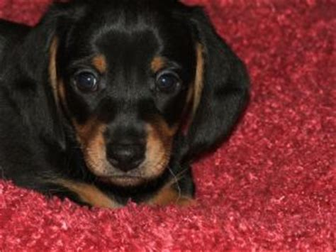 dachshund puppies for sale in ga dachshund puppies for sale