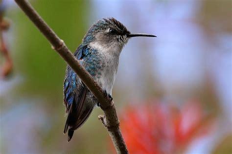 bee hummingbird facts habitat diet life cycle baby