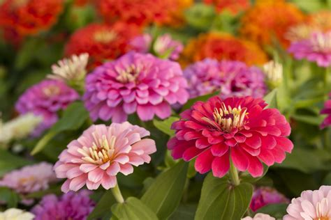 flower colors how to grow zinnias a burst of flower colors