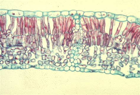 cross section dicot leaf leaves large images