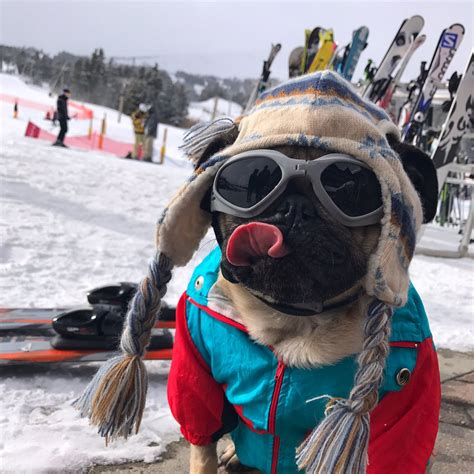 pug skiing doug the pug on quot all this skiing is me hungry quot