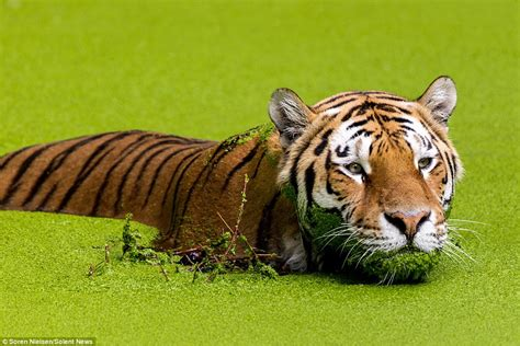 tiger denmark siberian tiger wades through algae while trying to cool