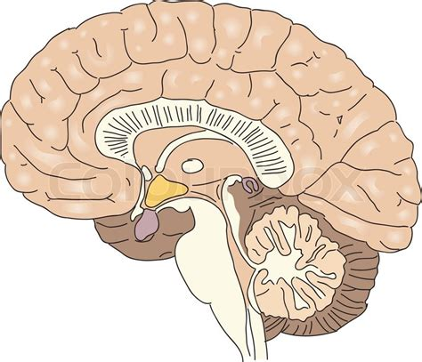cross section of the human brain querschnitt des menschlichen gehirns vector illustration